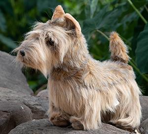 Scottish Terrier - Brindle